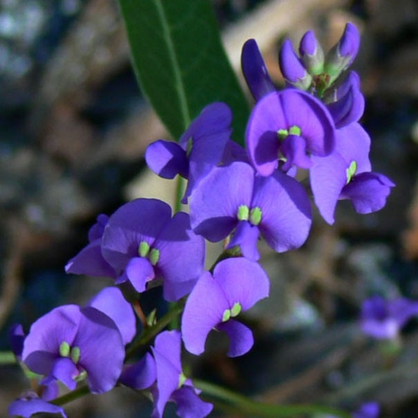 Hardenbergia violacea 03