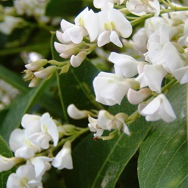 Hardenbergia violacea alba0