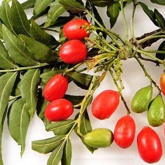 Native Plum Seed Cold Rainforest Bush Tucker Protea Family Cold Tolerant