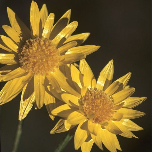 Hyalosperma Charming Sunray Seeds Native Annual Golden Wildflower