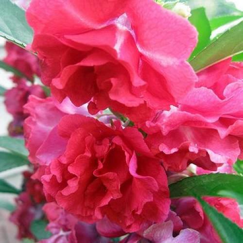 Impatiens Camellia flowered mix1