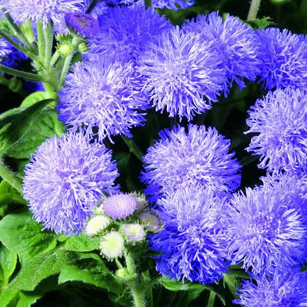 ageratum market Grower's blue