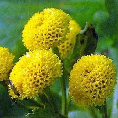 Matricaria Golden Balls1