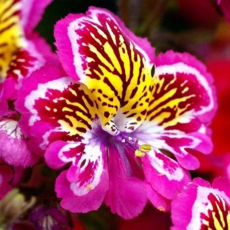 Schizanthus Angel Wings 04