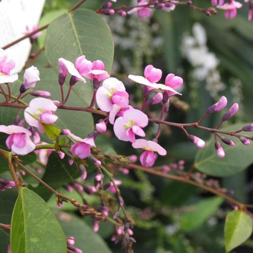 Hardenbergia Bushy Pink 01