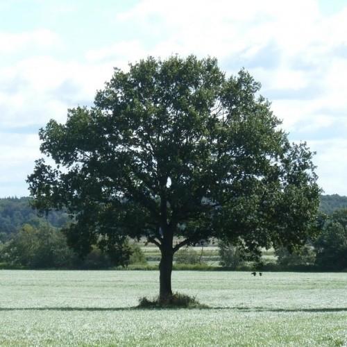 Quercus ilex 01