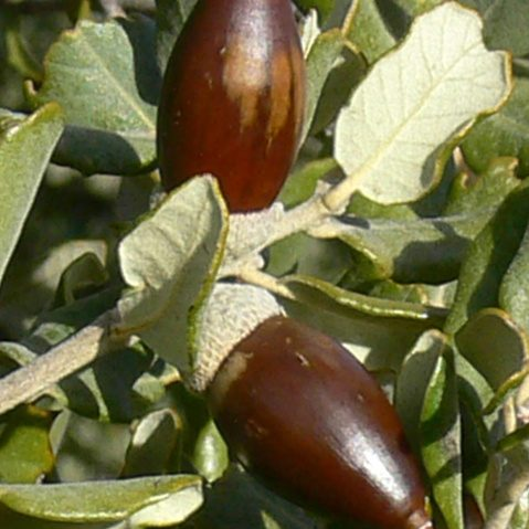 Quercus ilex 02