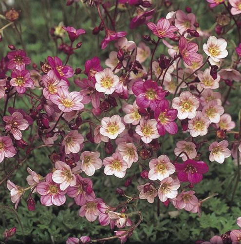 Saxifrage Highlander Rose 1