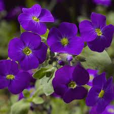 aubrieta 'audrey purple shades'