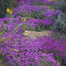aubrieta 'audrey purple shades'1