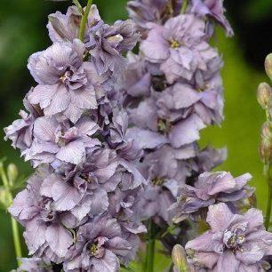 Consolida QIS Lavender 01