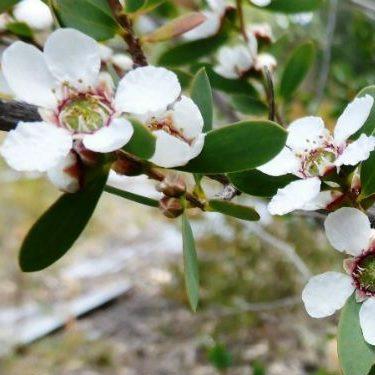 Leptospermum nitens 01