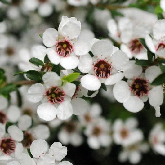 Leptospermum nitens 03