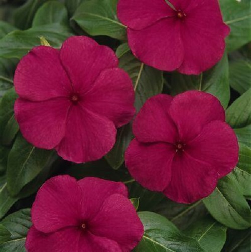 Catharanthus Pacifica Burgundy 1