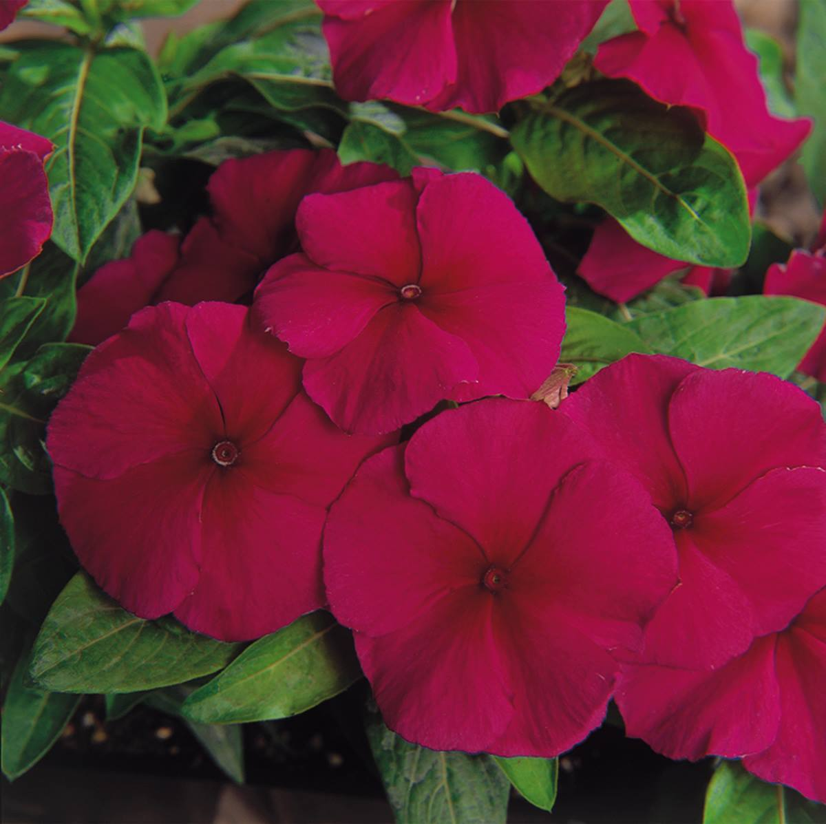 Catharanthus Pacifica Burgundy 3