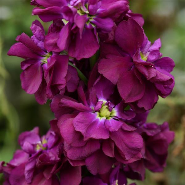 Matthiola G-c Purple Heart 01