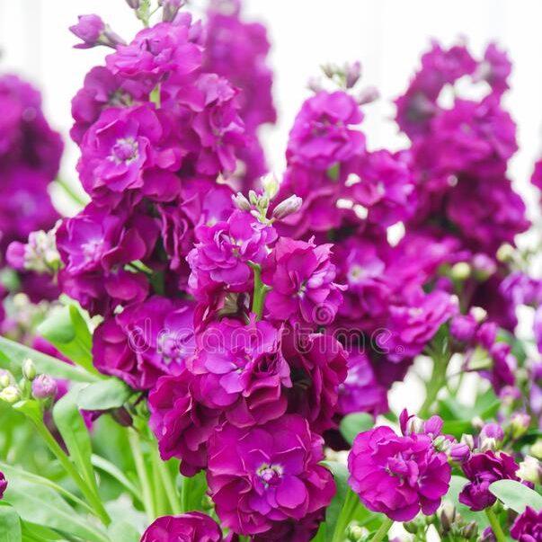 matthiola G-C Purple Heart 03
