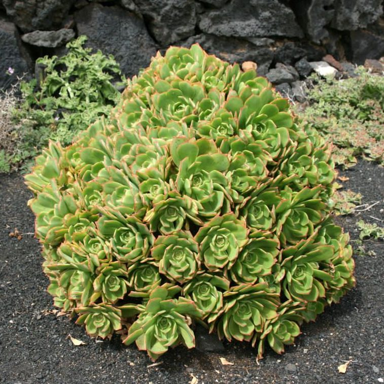 Aeonium lancerottense 02