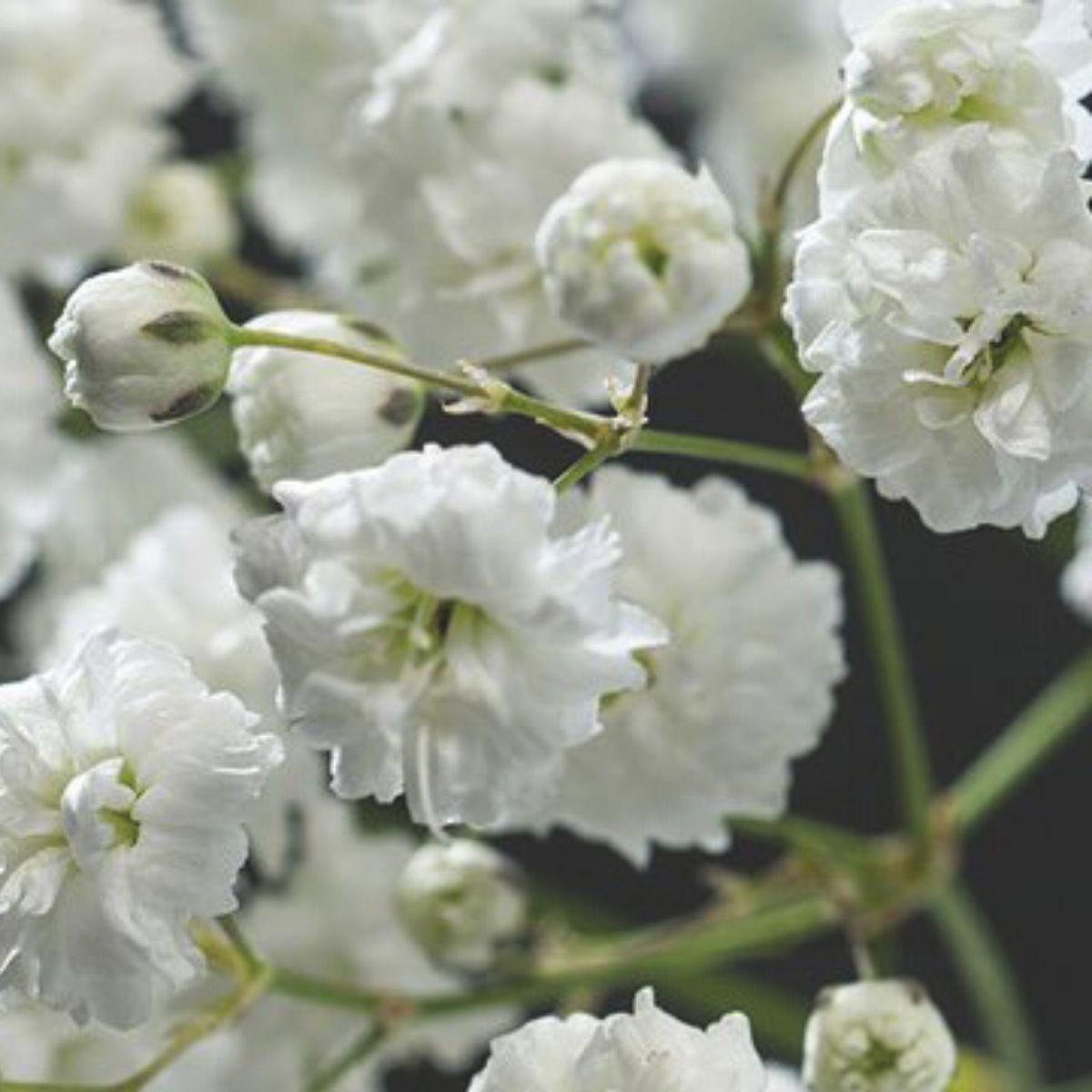 Gypsophila Double White 02