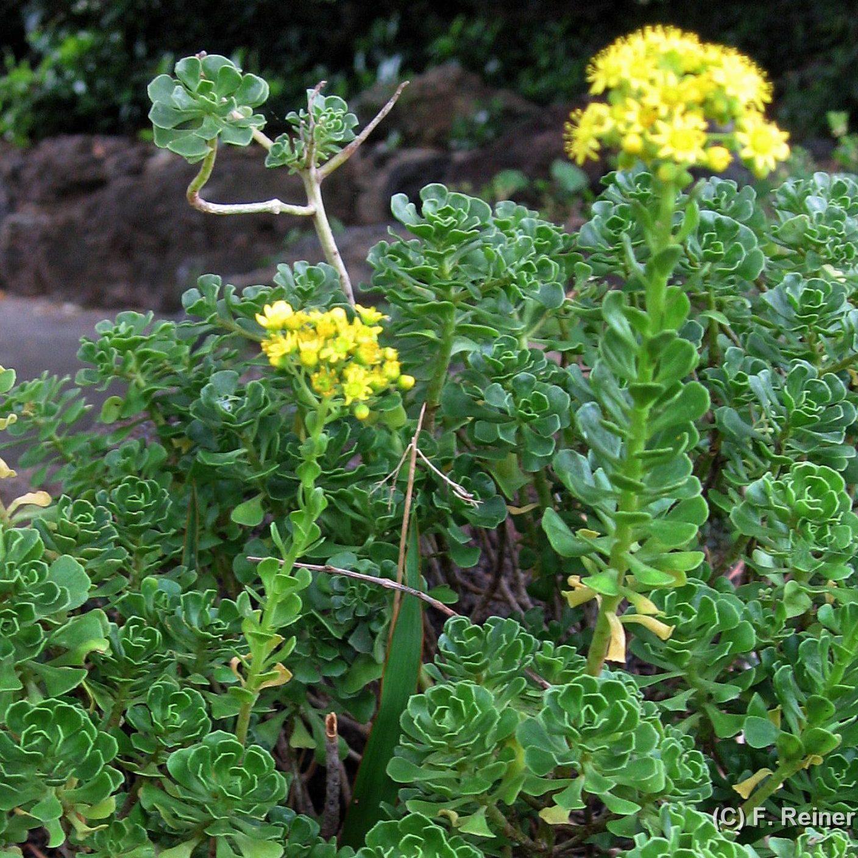 Aeonium spathulatum 02