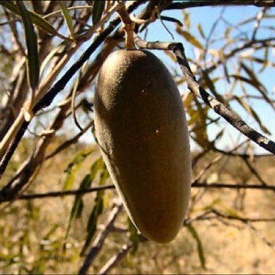 Marsdenia australis 04