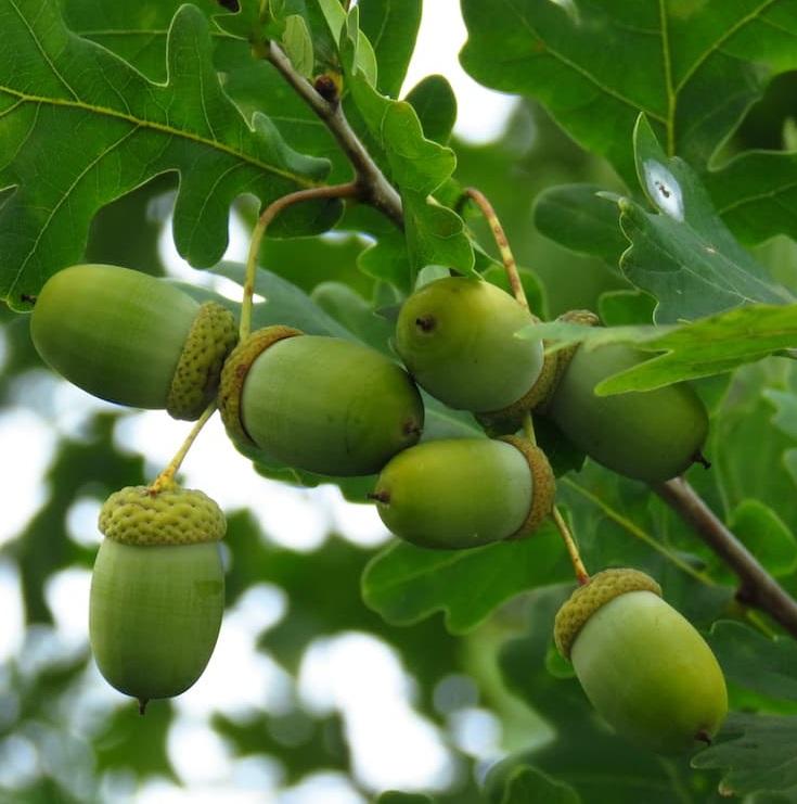 Quercus robur 01