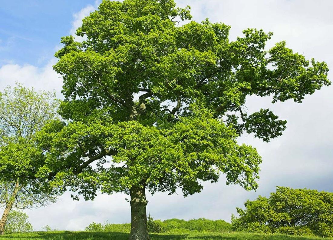 Quercus robur 02