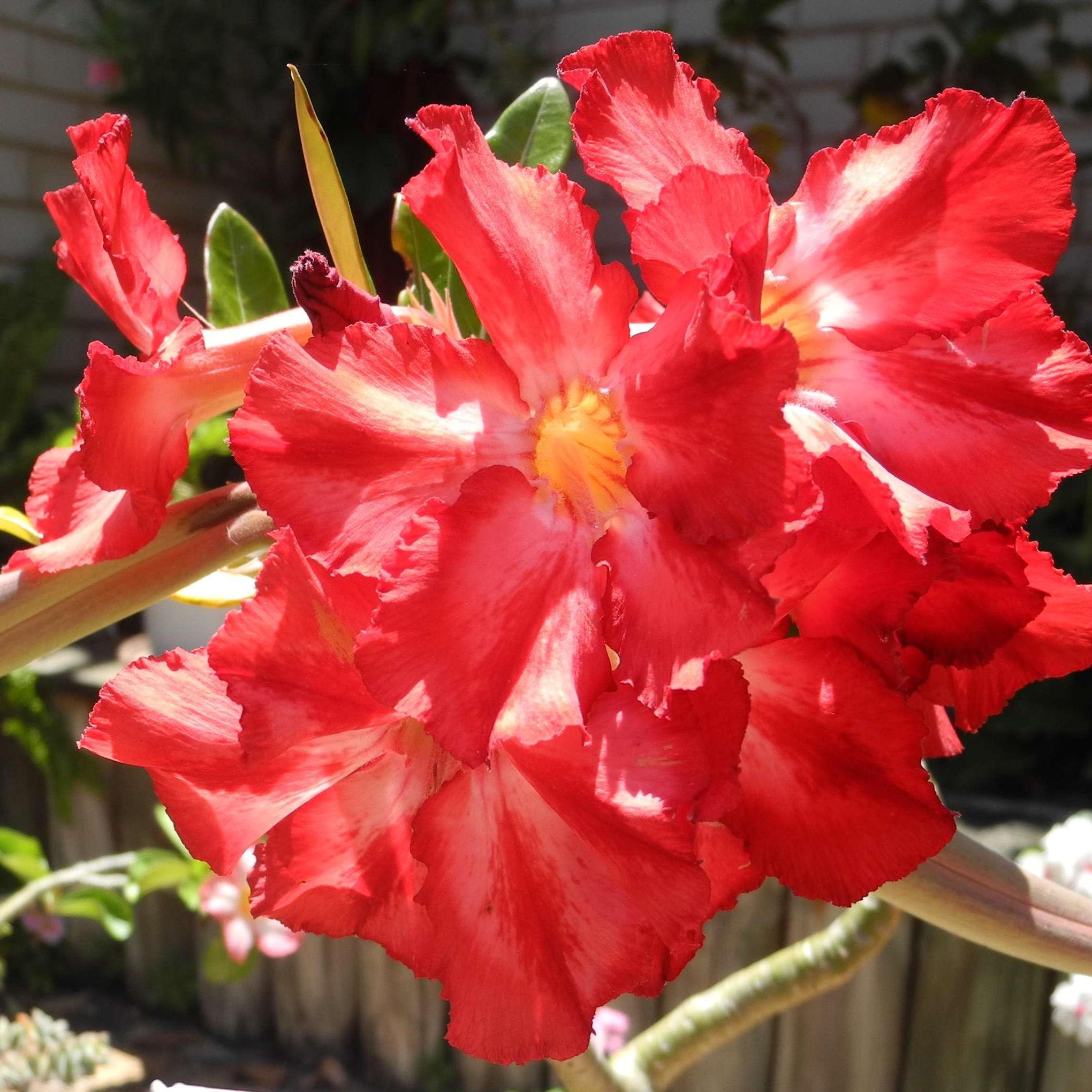Adenium 6 Coral Red